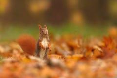 Bella immagine di uno scoiattolo arrugginito Fotografie Stock Libere da Diritti