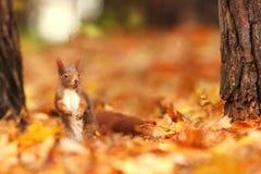 Bella immagine di uno scoiattolo arrugginito Immagini Stock Libere da Diritti