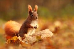 Bella immagine di uno scoiattolo arrugginito Immagine Stock Libera da Diritti