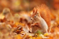 Bella immagine di uno scoiattolo arrugginito Immagini Stock
