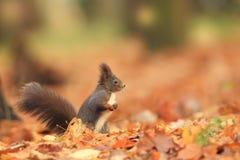 Bella immagine di uno scoiattolo arrugginito Fotografia Stock Libera da Diritti