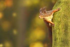Bella immagine di uno scoiattolo arrugginito Fotografia Stock