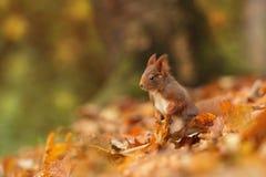 Bella immagine di uno scoiattolo arrugginito Immagine Stock