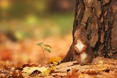 Bella immagine di uno scoiattolo arrugginito Fotografie Stock