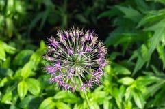 Bella inflorescenza sferica porpora della cipolla decorativa, nominata anche allium, sui precedenti vaghi di fogliame fertile Immagini Stock