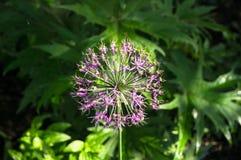 Bella inflorescenza sferica porpora della cipolla decorativa, nominata anche allium, sui precedenti vaghi di fogliame fertile Immagine Stock Libera da Diritti