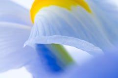 Bella iride fresca Fotografia Stock