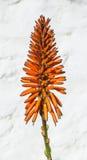 Bella kniphofia, giglio della torcia Fotografia Stock Libera da Diritti
