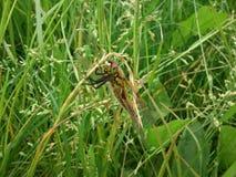 Bella libellula Fotografia Stock