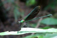 Bella libellula di porpora della a lungo coda Fotografia Stock
