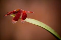 Bella libellula rossa Immagini Stock Libere da Diritti