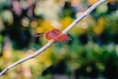 bella libellula su una pianta verde con fondo immagine stock libera da diritti