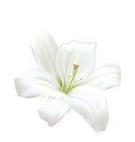 bella Lily Isolated On White Background bianca Foto-realistica Immagine Stock Libera da Diritti