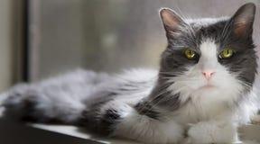 Bella luce posteriore naturale delicatamente bianca di Grey And White Cat With Fotografie Stock