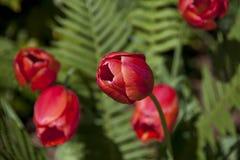 Bella luce solare che splende sui tulipani rossi splendidi immagini stock libere da diritti