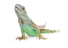 Bella lucertola dell'iguana su bianco Fotografia Stock
