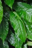 Bella lucertola verde sulla foglia verde tropicale fotografia stock