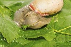 Bella lumaca che mangia foglia verde Fotografia Stock Libera da Diritti