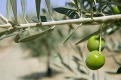 Bella macro del campo dell'oliva verde sopra cielo blu fotografia stock