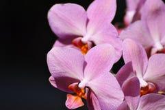 Bella macro dettagliata e tagliente dell'orchidea rosa Fotografie Stock Libere da Diritti