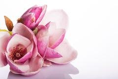 Bella magnolia isolata su priorità bassa bianca Fotografia Stock