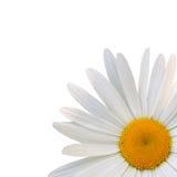 Bella margherita del fiore Immagini Stock
