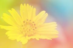 Bella margherita di Singapore che fiorisce nel giardino di primavera Fotografia Stock Libera da Diritti