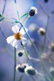 Bella margherita fresca alla luce calda del sole Fotografia Stock