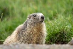 Una marmotta nelle alpi Immagine Stock Libera da Diritti