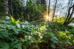 Bella mattina nella foresta con i fiori sulla priorità alta Immagini Stock