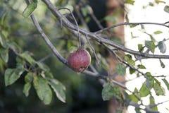 Bella mela rossa sul cavo del ramo Fotografie Stock Libere da Diritti