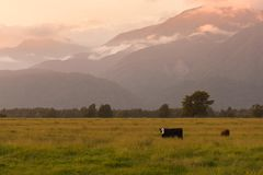 Bella montagna della Nuova Zelanda durante l'alba con la mucca dell'inquadratura Fotografia Stock