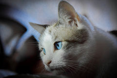 Bella. From the month of presentation of my cats series Royalty Free Stock Images