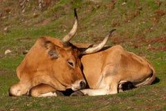 bella mucca Immagine Stock