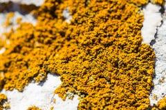 Bella muffa arancio del fungo del lichene sulla pietra bianca dalla riva di mare Fotografie Stock Libere da Diritti
