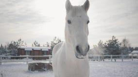 Bella museruola di una condizione del cavallo bianco sull'area esclusa di un ranch del paese I cavalli camminano all'aperto nell' archivi video