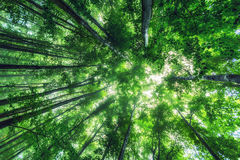 Bella natura alla mattina nella foresta nebbiosa della molla con il sole Immagine Stock