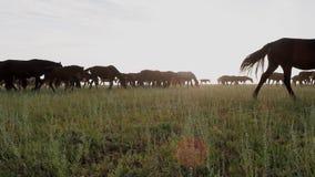 Bella natura del Kazakistan e pascere il gregge del cavallo sul campo video d archivio