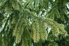 Bella natura di inverno Foresta dell'albero di abete di fiaba fotografie stock libere da diritti