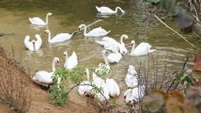 Bella nuotata bianca dei cigni nell'acqua Fotografia Stock Libera da Diritti