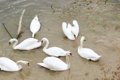 Bella nuotata bianca dei cigni nell'acqua Immagini Stock Libere da Diritti