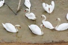 Bella nuotata bianca dei cigni nell'acqua Fotografie Stock Libere da Diritti