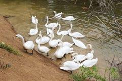 Bella nuotata bianca dei cigni nell'acqua Fotografia Stock