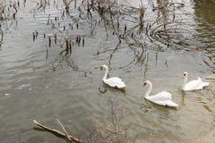 Bella nuotata bianca dei cigni nell'acqua Immagine Stock Libera da Diritti