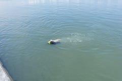 Bella nuotata del cane di labrador retriever in mare con Fotografia Stock Libera da Diritti