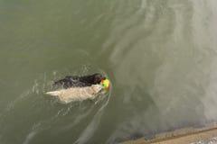 Bella nuotata del cane di labrador retriever in mare con Fotografia Stock