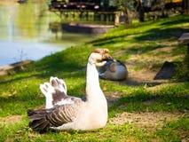 Bella oca accanto al lago Fotografia Stock