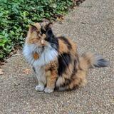 Bella officiell kattdjur av Alamoen arkivfoton