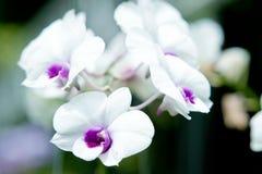 Bella orchidea Fotografie Stock Libere da Diritti