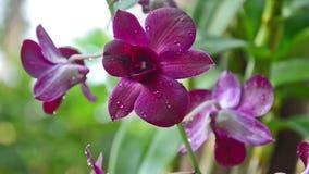 Bella orchidea video d archivio